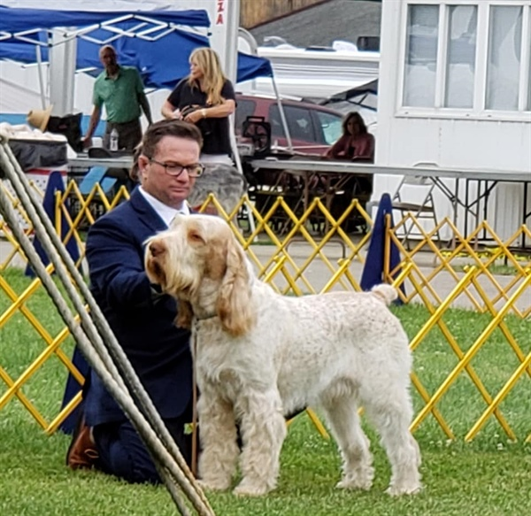 Spinone Judging at Westminister